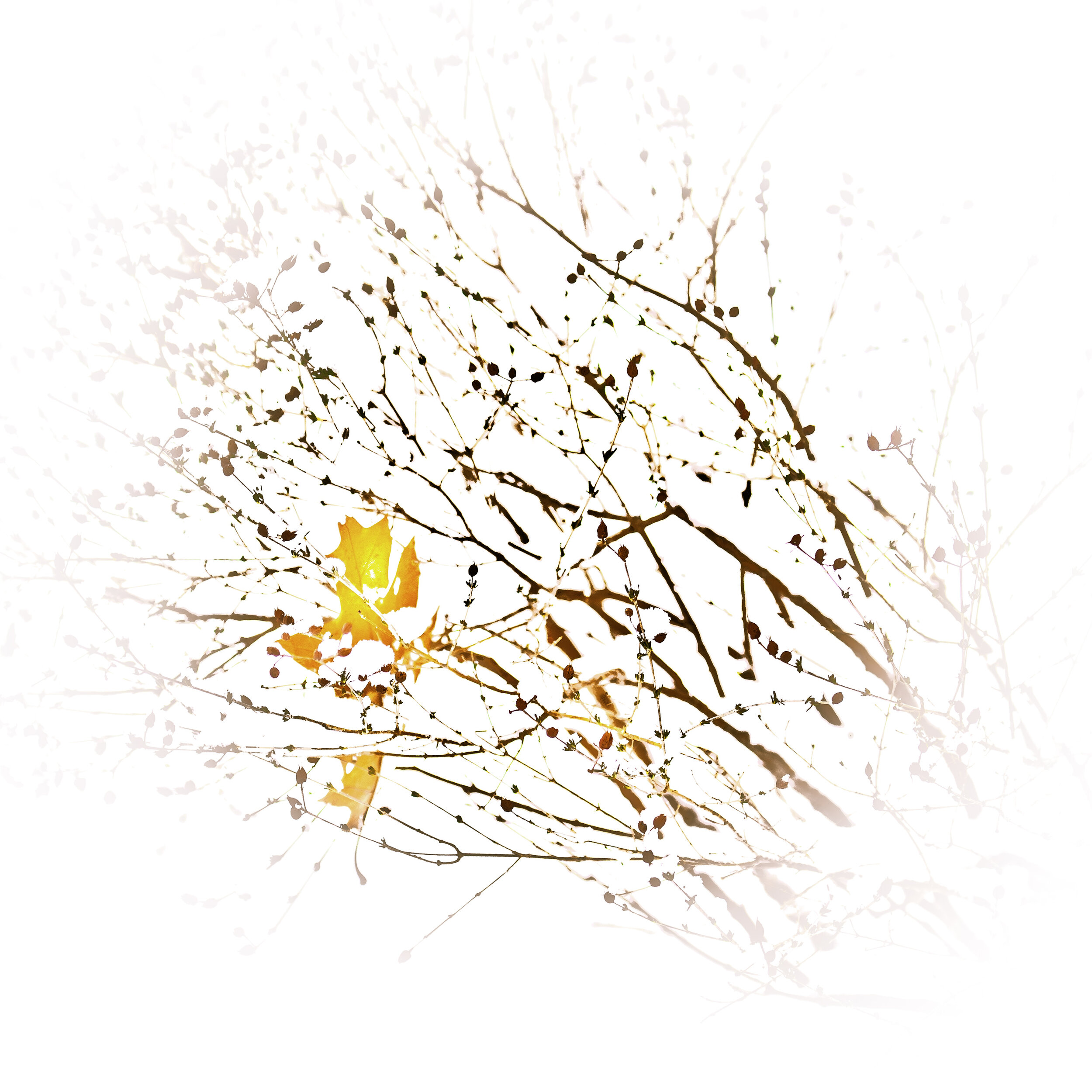 maple in hypericum.jpg