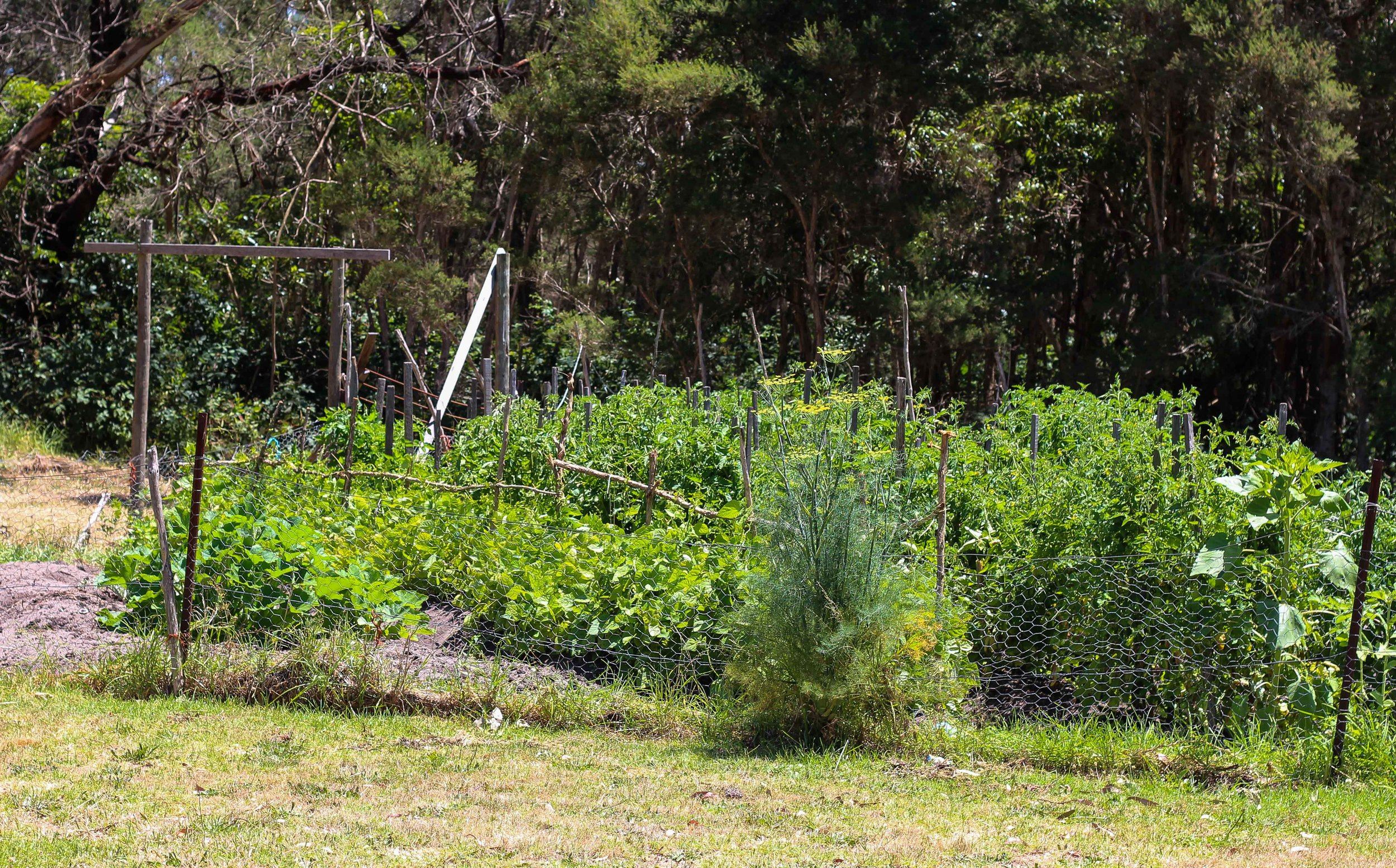 Our tangly, plentiful veggie garden!