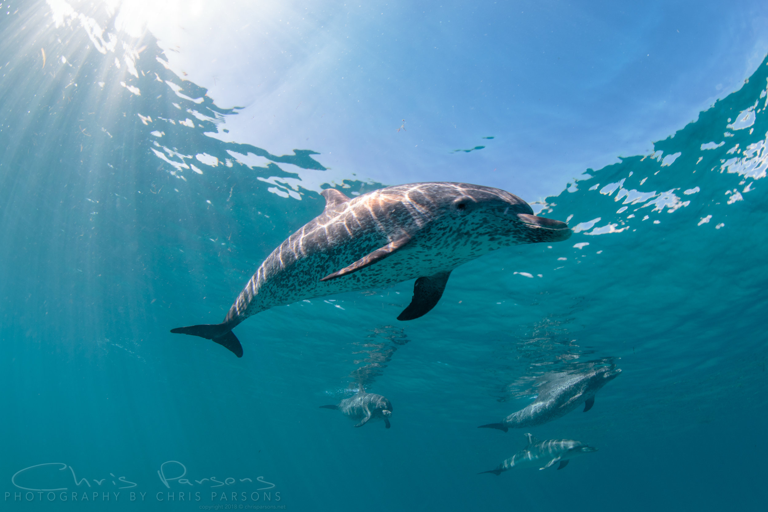Atlantic Spotted Dolphins, Bimini, Bahamas.
