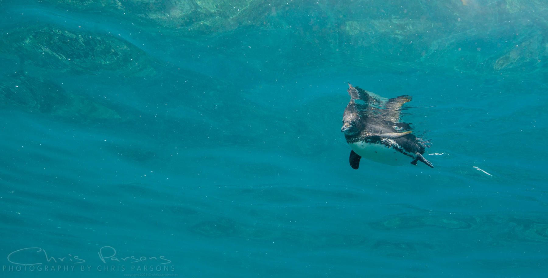 A little Galapagos Penguin checks out our group.