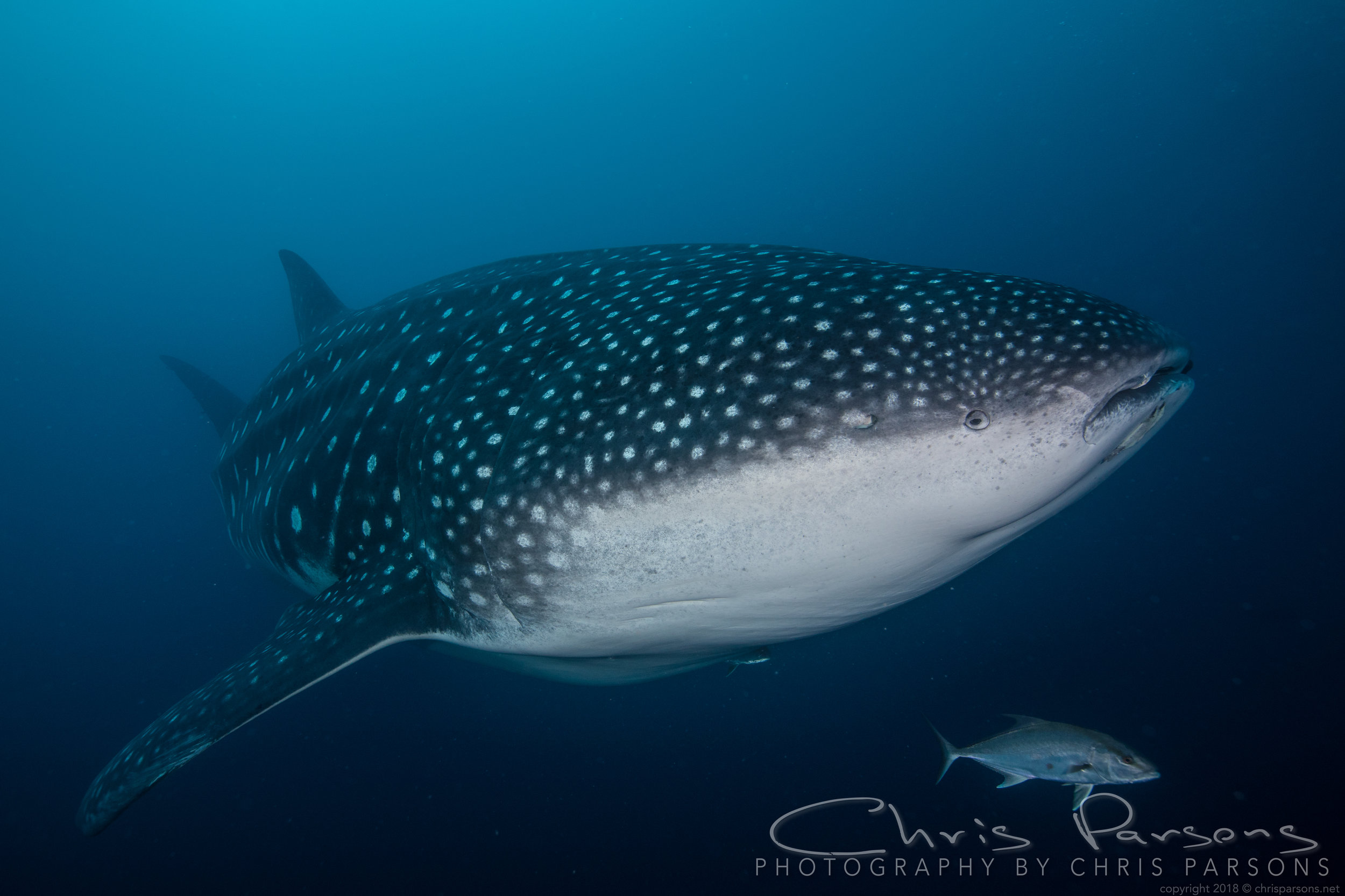 And this is why we bring a fisheye. Whale shark, about 40ft long.