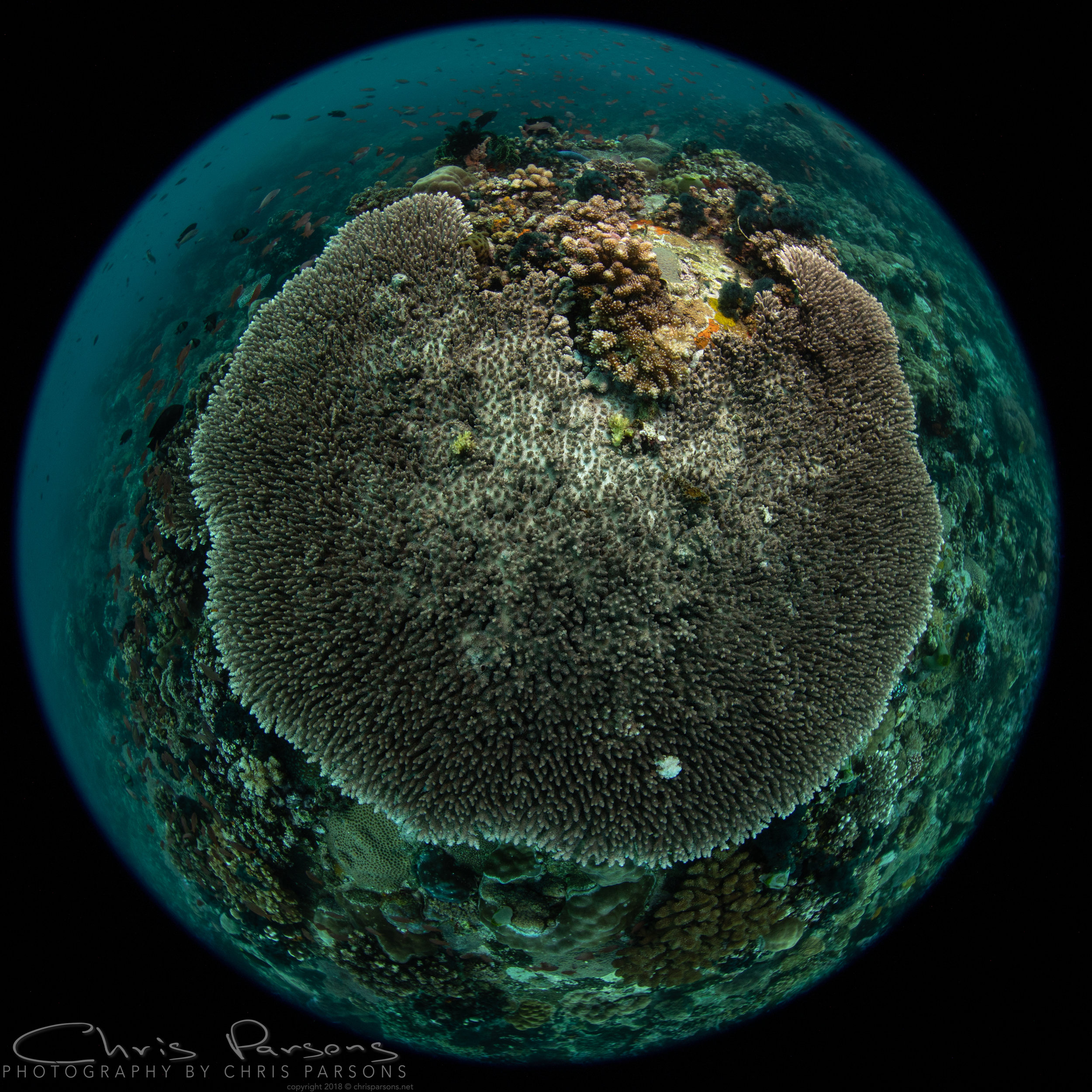 Table coral, Verde Island. Shot with the Canon 5D Mark IV, Canon 8-15mm fisheye lens at 8mm, Nauticam housing and Zen DP-100 mini dome with removable shade.