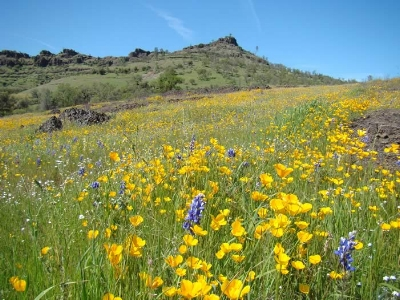 California-Poppies-in-Bidwell-Park.jpg