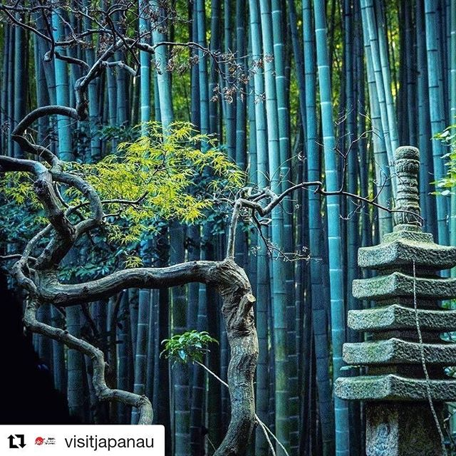 Thanks for the repost! Can't wait to be back in Japan next year. #Repost @visitjapanau (@get_repost) ・・・ Hidden in the hills of eastern Kamakura is Hokoku-ji Temple, which was founded in 1334. If you're in need of some much needed down time, spend a quiet moment in the bamboo grove behind the main hall 💚 📸@adrienne_mah