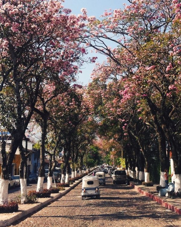 antigua cherry blossoms guatemala tuk tuk.jpg