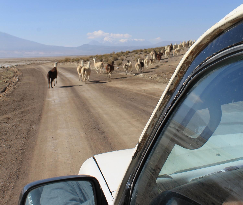 bolivia llamas in the road uyuni travel guide