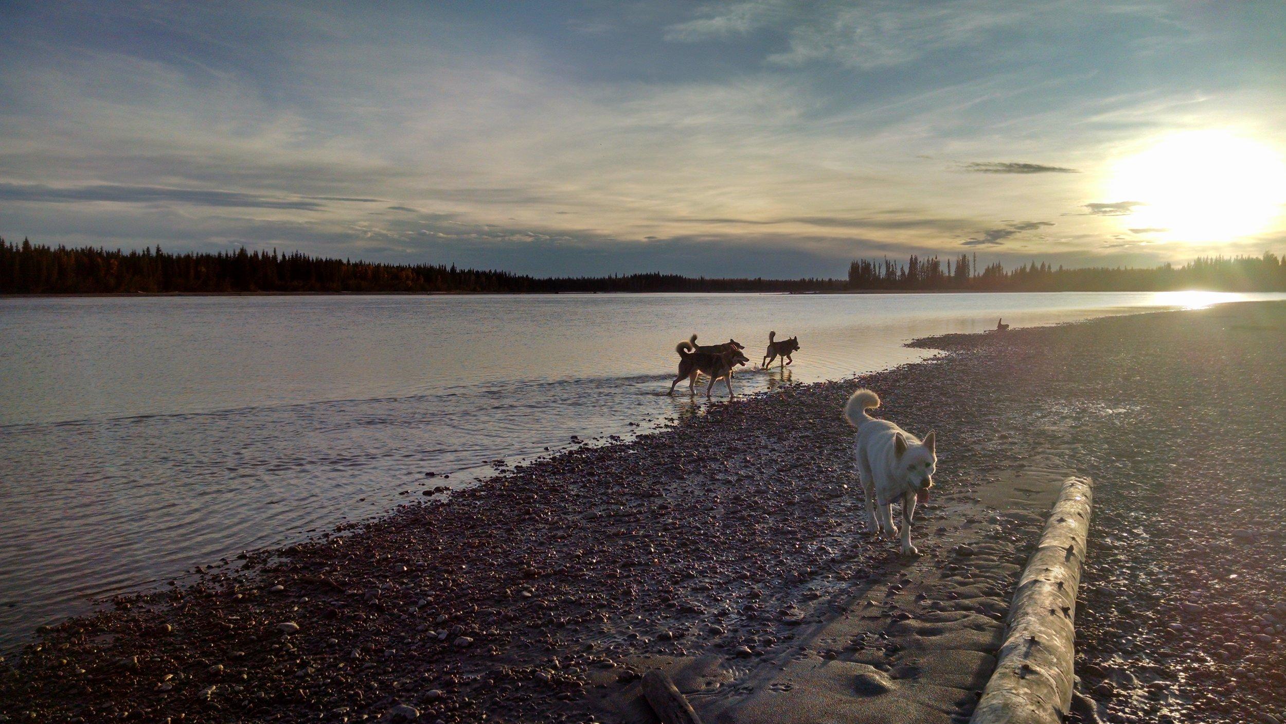 """Dogs explore """"sled dog island"""""""