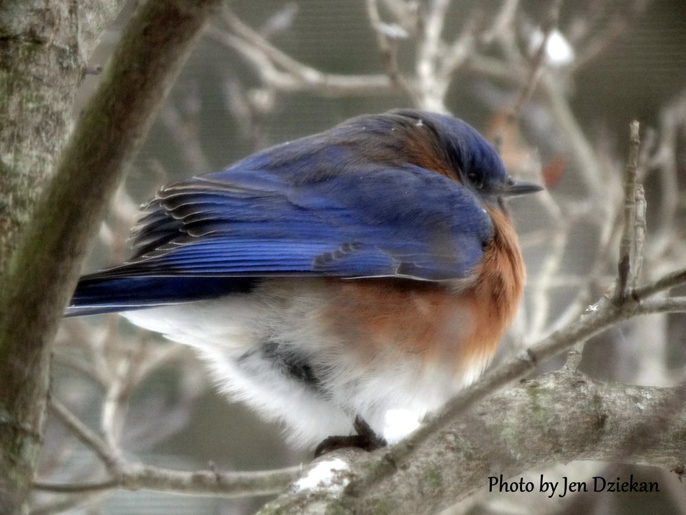 Winter+Bluebird.jpg