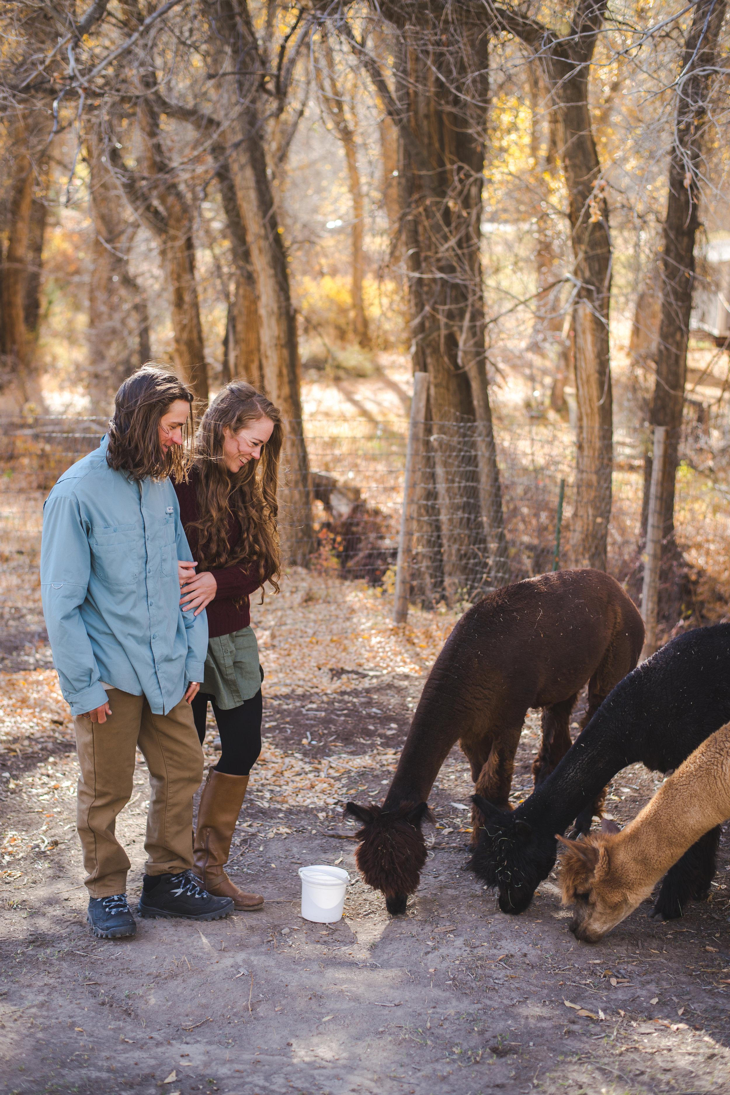 engagement session colorado alpacas