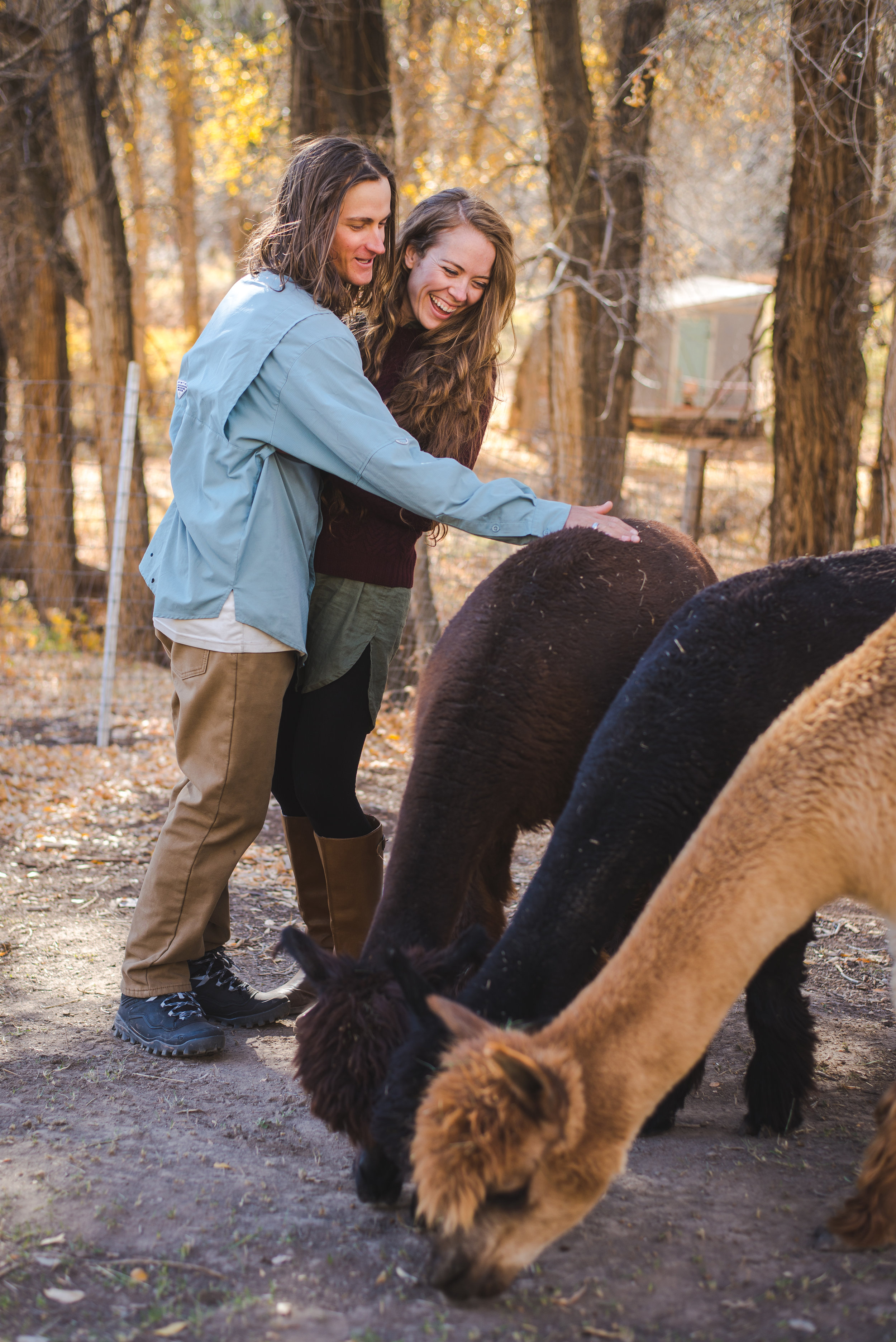 colorado engagement session farm alpacas
