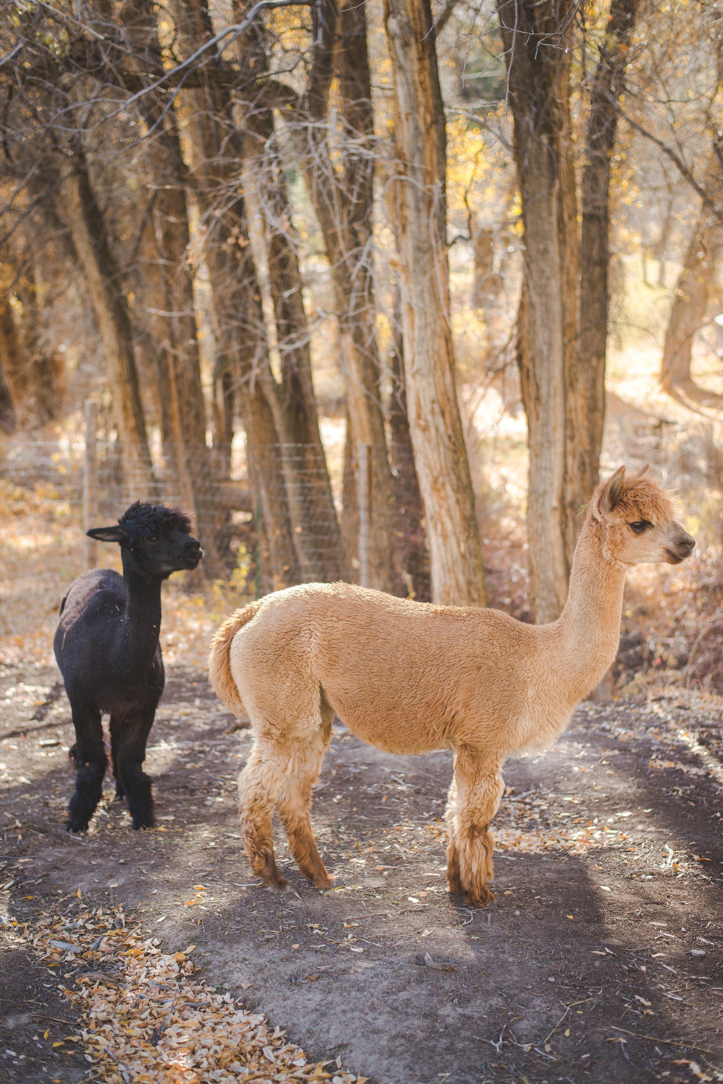 colorado alpaca