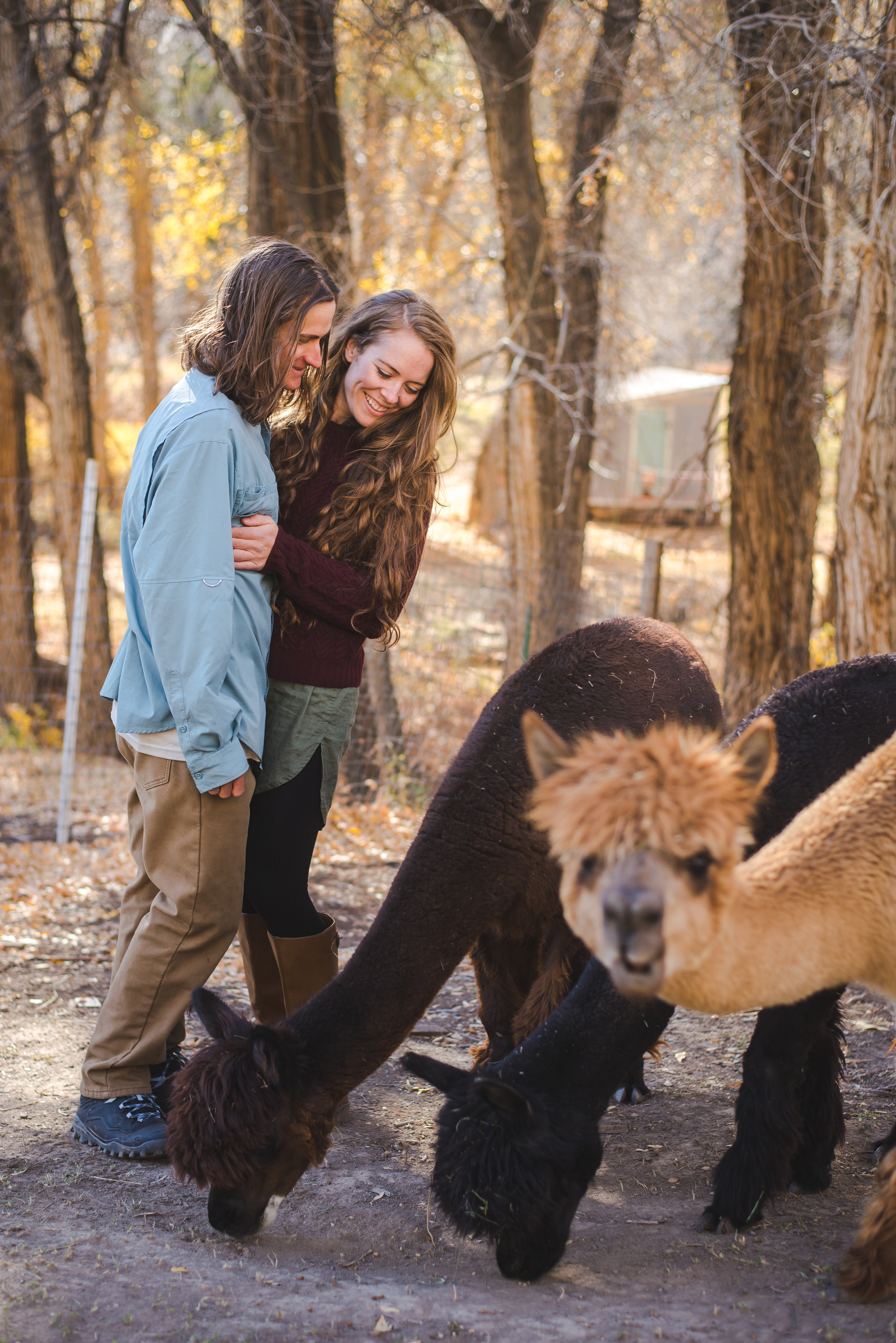 late fall engagement photos at a farm in edwards, colorado with alpacas
