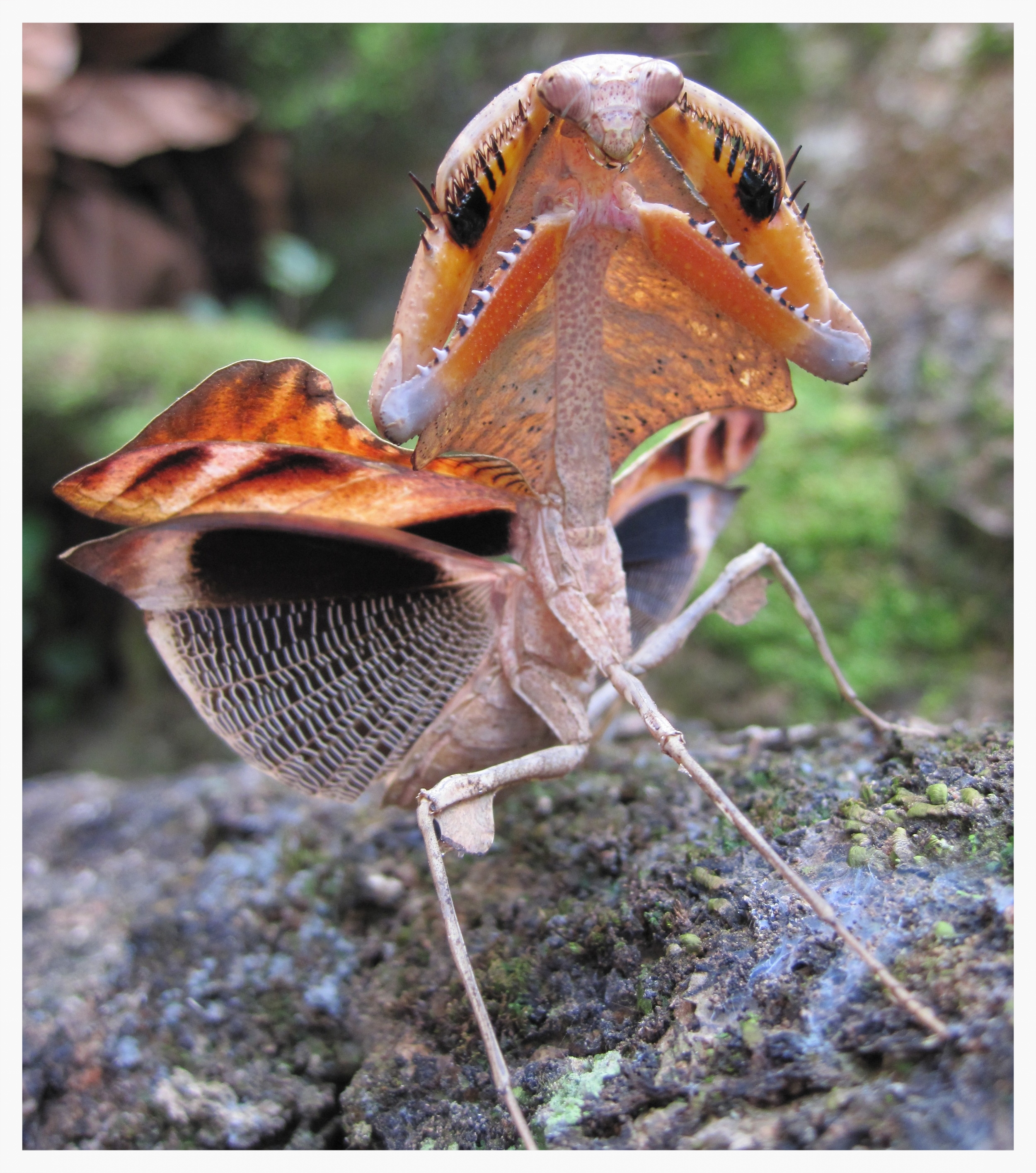Dead-leaf mantis ( Deroplatys dessicata ) performing its deimatic display. Photo: James O'Hanlon