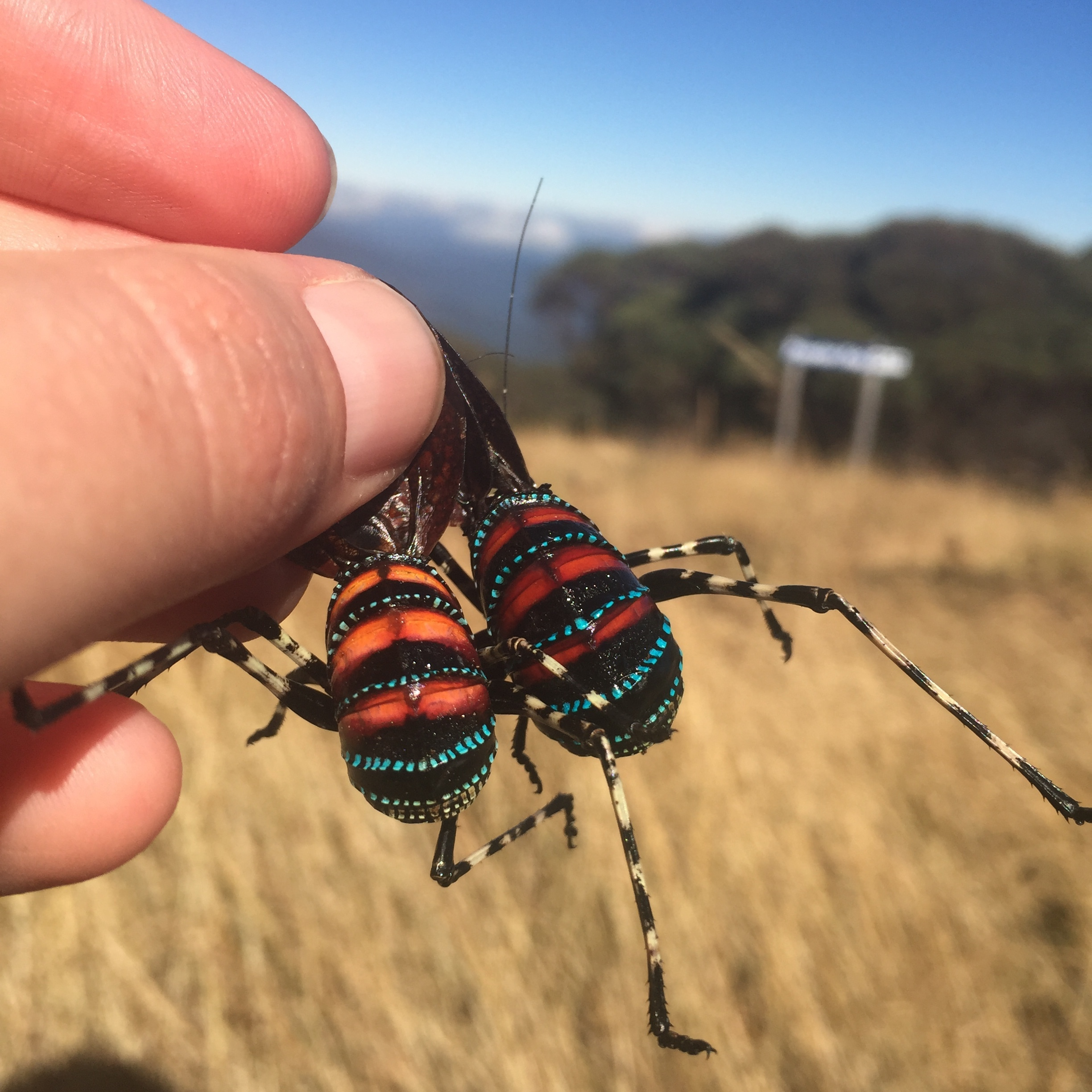 Ooooh! phenotypic variation within a species is so exciting! Is it environmental? Is it genetic? Mountain insects, like these katydids ( Acripeza reticulata ) have some of the largest genomes in the world... why IS that? (Photo: Kate Umbers)
