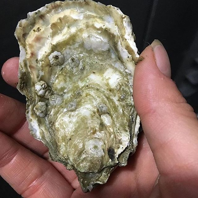Two more $1 oyster Monday's before we close! Come by tonight and give yourself a treat with these pretty little things:) #pdxshucks #dollaroysters #12moreshifts #enjoytheride