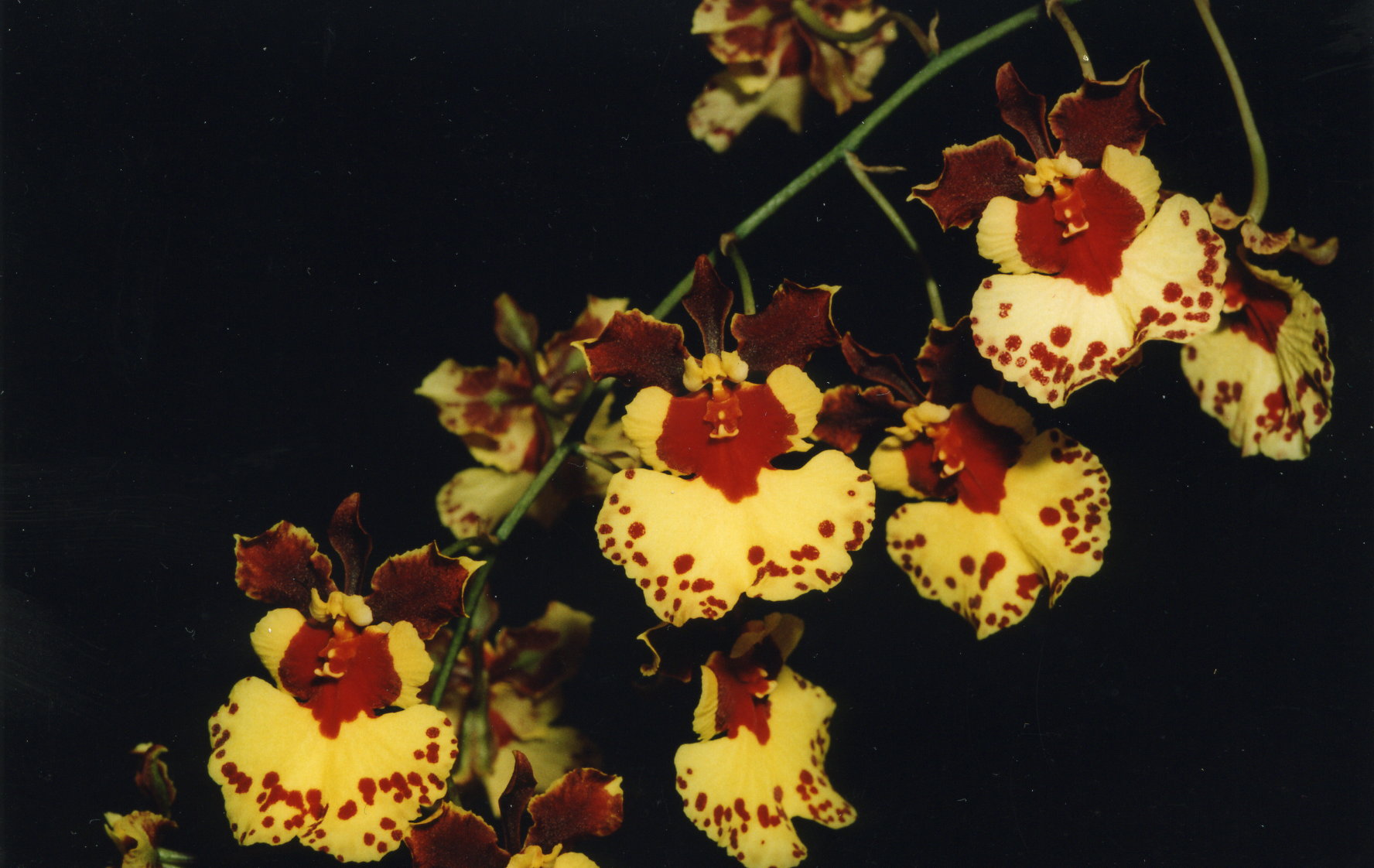 Oncidium Orchid World 'Roboson' - grown & photographed by Olga C.