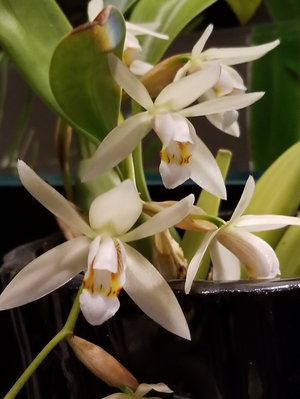 Unidentified Coelogyne, grown & photographed by Dan