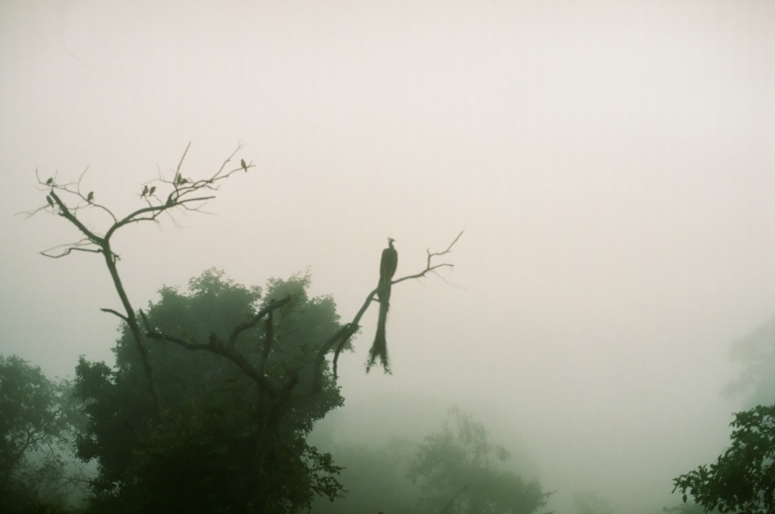 A peacock in the morning fog.
