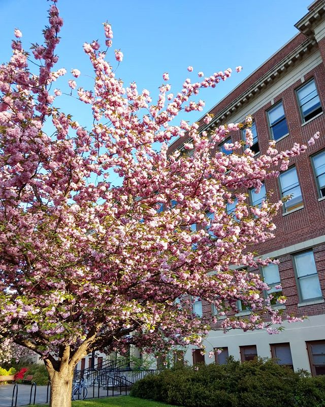 Oregon is blooming. . . . #livingwithlocks #flowers #blooms #cherryblossom #pink #sky #bluesky #photography #naturephotography #oregon #pnw #pacificnorthwest #nature #beauty #beautiful #trees #colorful #outside #discoverpnw #discover #gooutdoors #gooutside #walks #wandering #explore #explorenature #architecture #buildings #brick