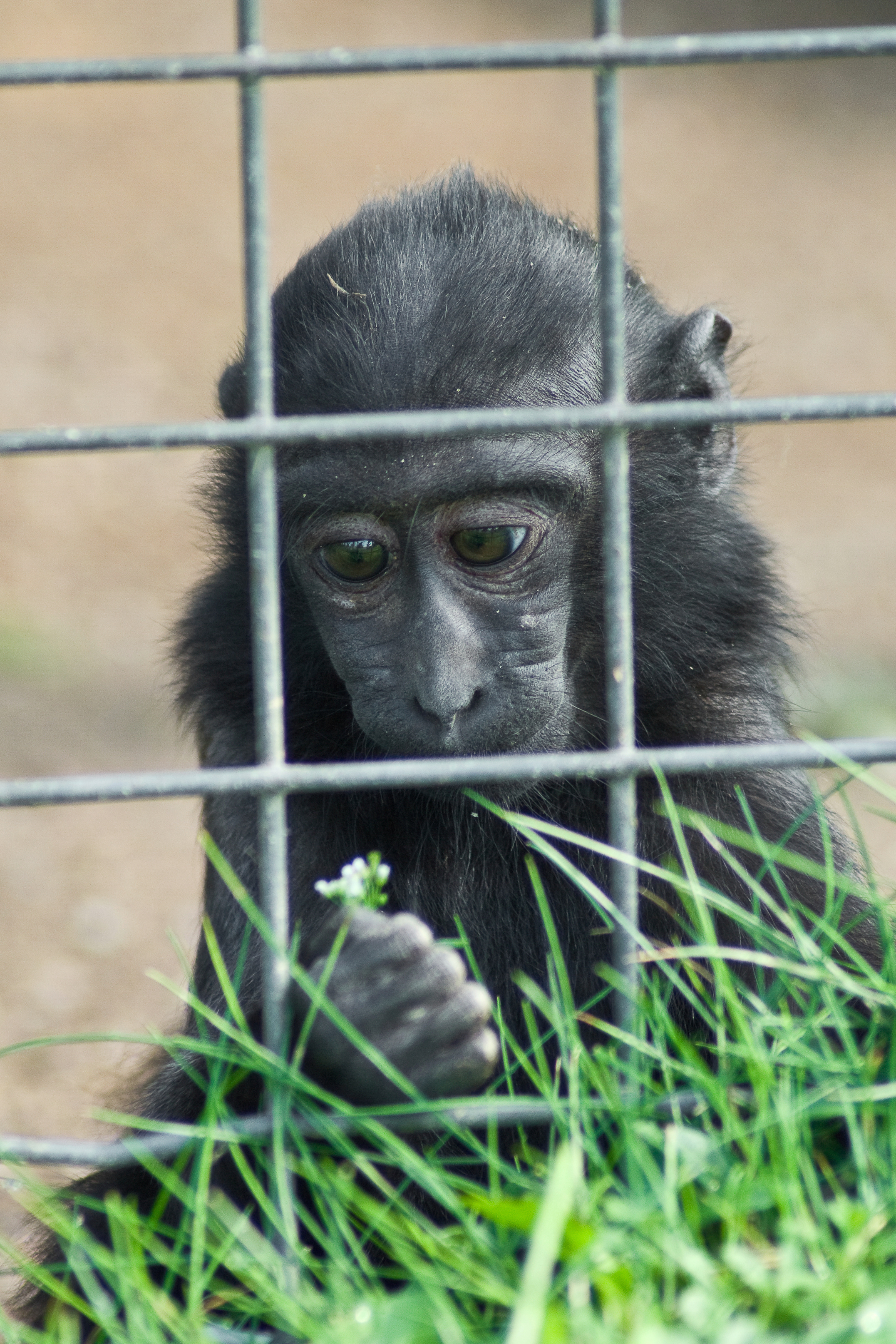 Caged Ape