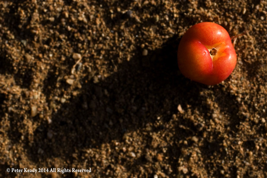 """A small tomato in my garden. The year before, when another tomato """"died"""", rotted and left it's seed, the plant grew up and produced this fruit, one of many."""