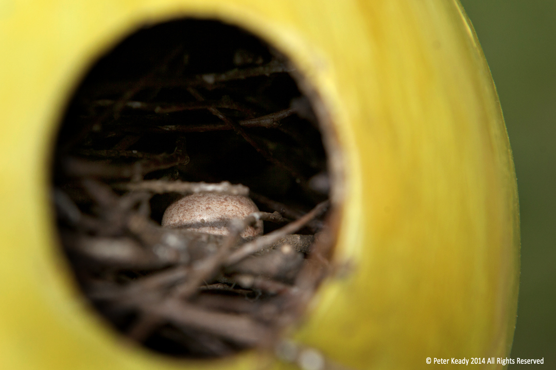 The egg of a House Wren amidst twigs from a Japanese Zelkova tree. The nest is made in a gourd. The gourd was made into a birdhouse by one of my wife's students. Life is precious, especially human life. Fight, fight against the dying of the light!