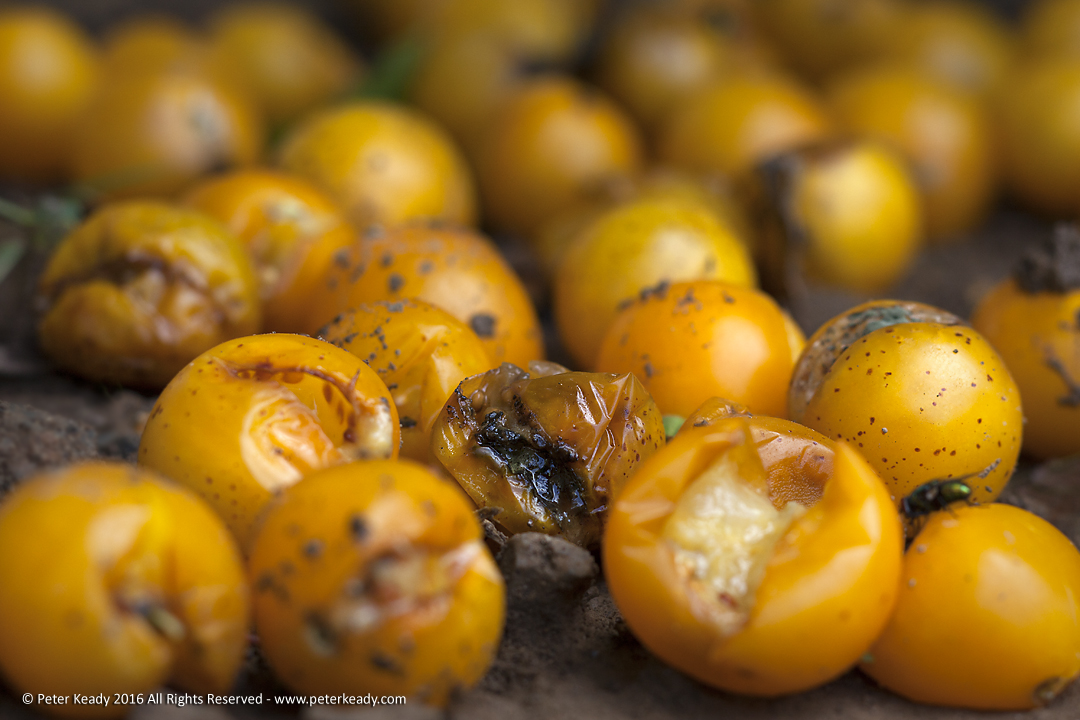 Shriveled and moldy, golden cherry tomatoes are visited by flies for a tasty eat. At one time, these fruit were perfectly edible and, if anything like their brethren, delicious. But carelessness resulted in lost potential!