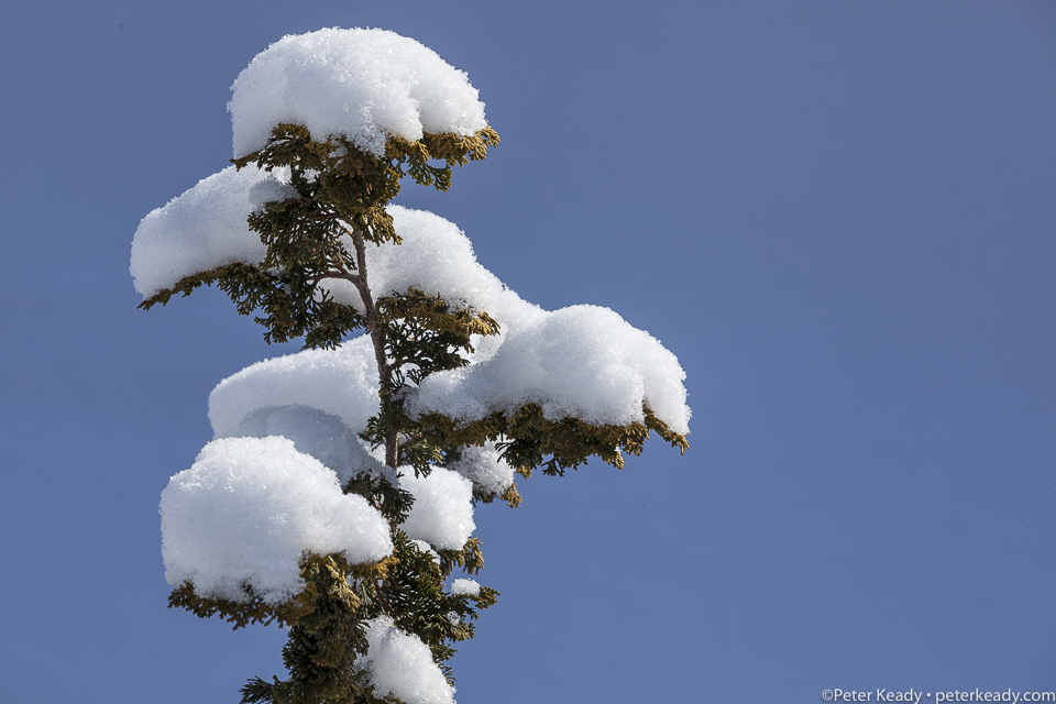 """""""Why?"""" That question can leave us cold and bewildered because it often doesn't have an answer. But in the midst of confusion and pain, we are called to a noble task. Snow graces the layers of a  Dwarf Hinoki Cypress."""