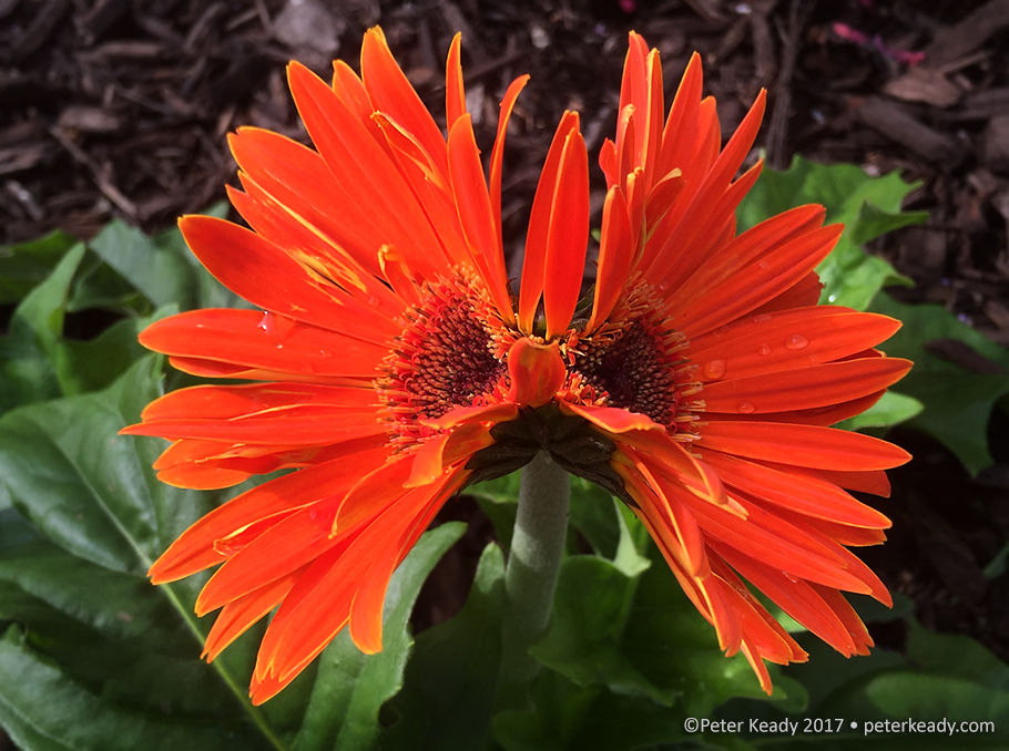 This Gerbera Daisy produced double headed blossoms on a single stem all summer long. None of our other plants bloomed like this, only this one. It couldn't help but produce what was in its DNA. We're no different! We only produce after out kind; broken hearts producing broken hearts, unless...