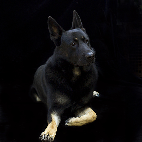Dog Portrait, Melbourne, Photographer, German Shepard, Studio