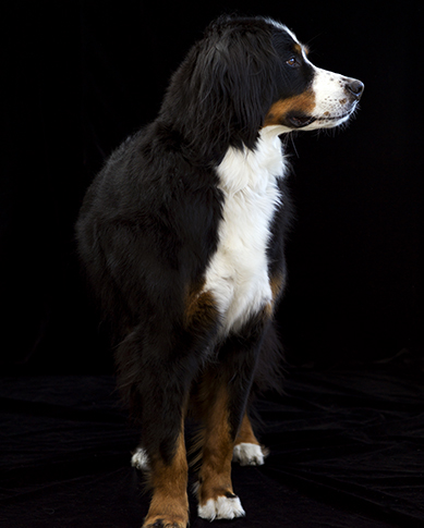 Dog Portrait, Melbourne, Photographer, Studio