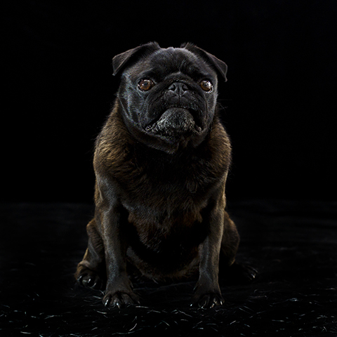 Pet Photography, Melbourne, Pug