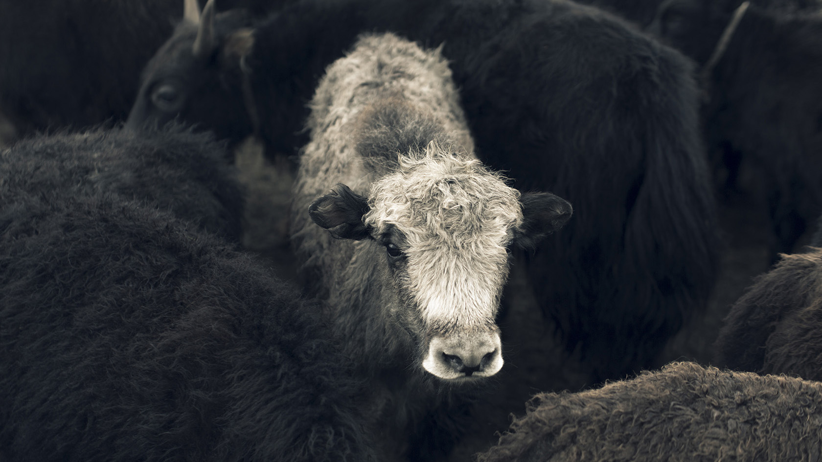 Tengri's Khangai Noble Yarns® support an indigenous species of Khangai mountain yak, helping to protect and support biodiversity and enabling other wildlife to thrive.