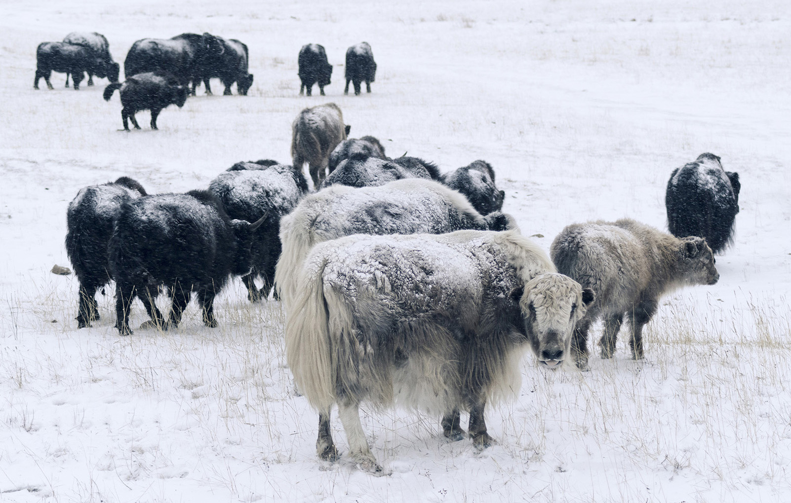 The Khangai region's microclimate contributes to the unique qualities of Khangai Yak coats.