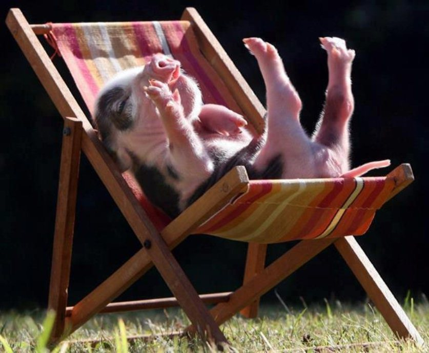 lounging-teacup-pig.jpg