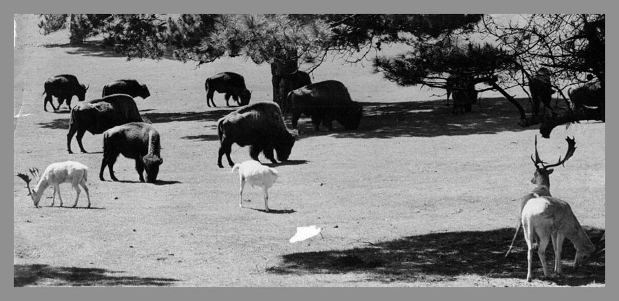 The Buffalo Paddock used to have different animals