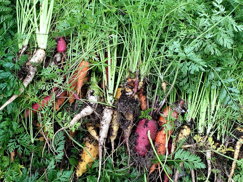 2015 winter carrot harvest.jpg