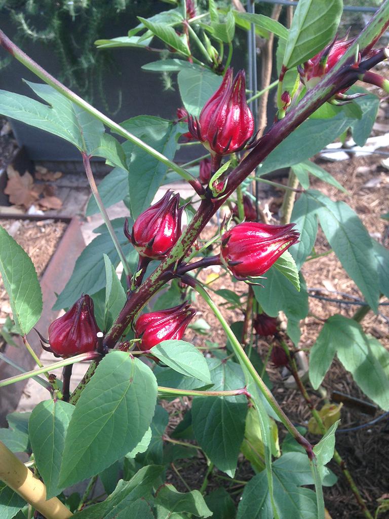 140903 hibiscus b.jpg