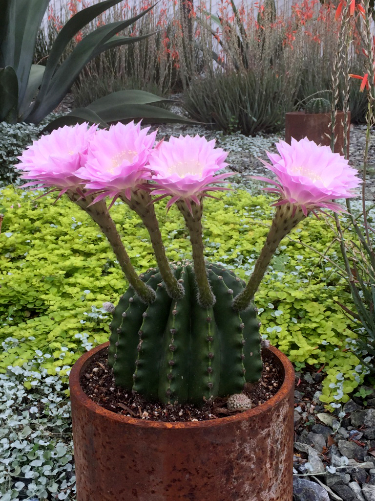 150412 barrel cactus bloom b.jpg