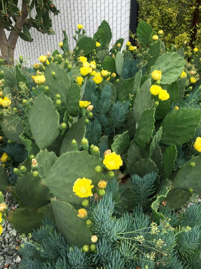 150418 opuntia bloom.jpg