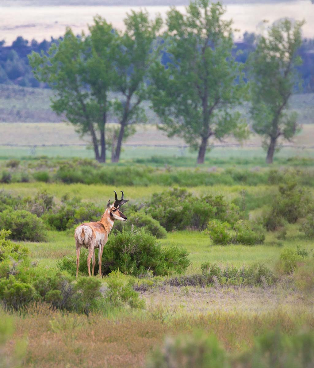 4-pronghorn trees 0529.jpg