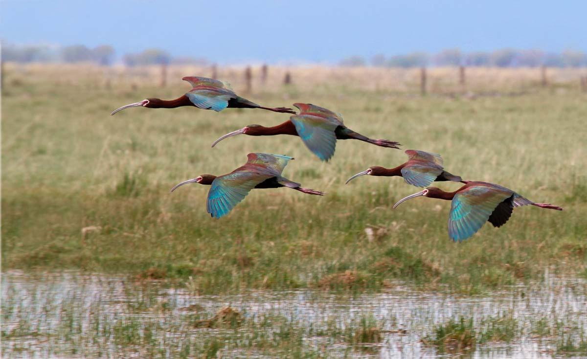 11- Ibis flock flying_MG_2208.jpg