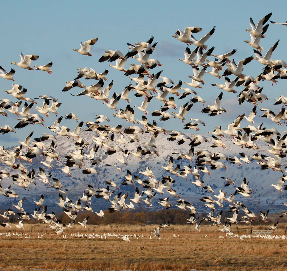 13- show geese  take off MG_1834.jpg