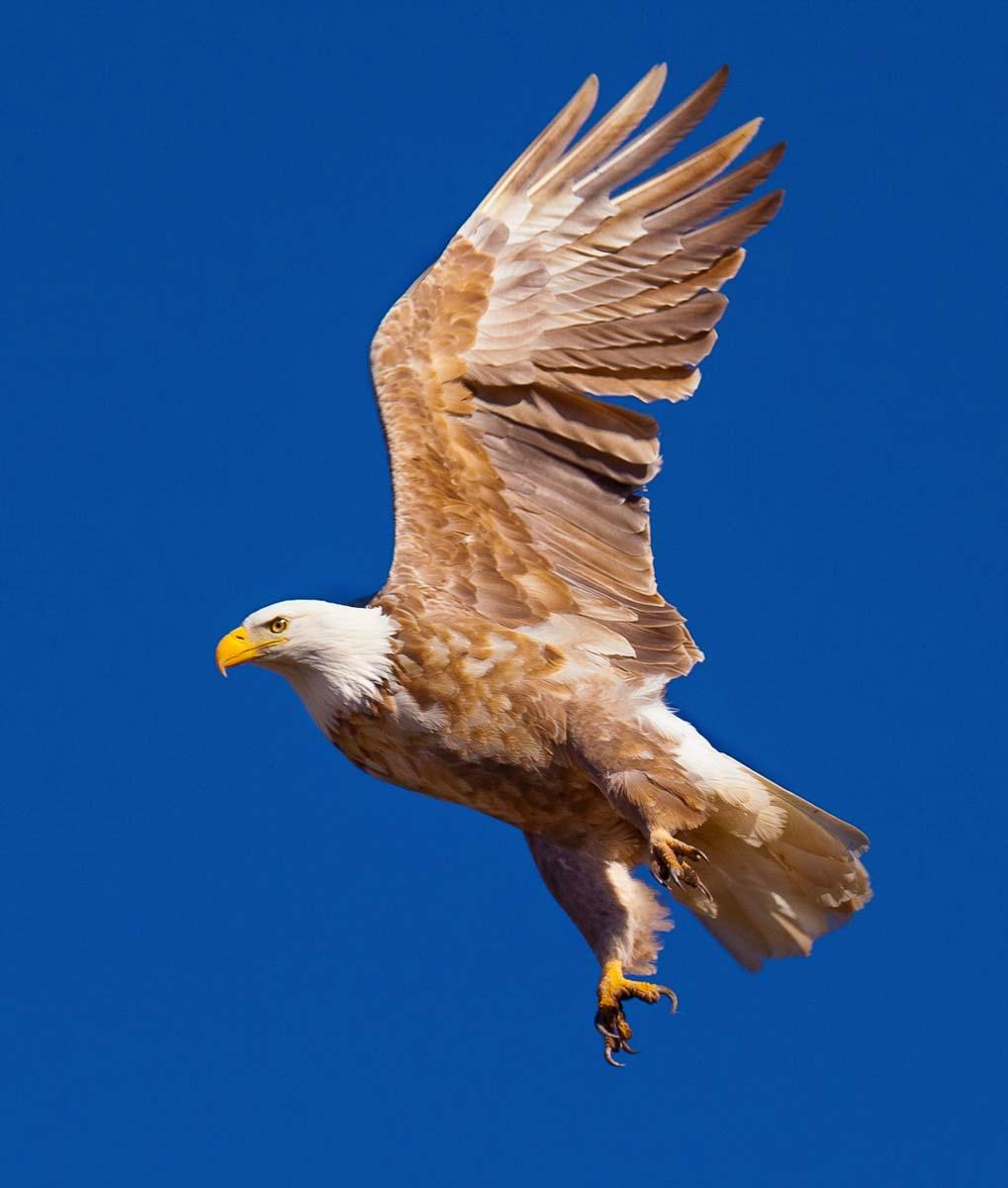 14 white Eagle (leucistic) 6719.jpg