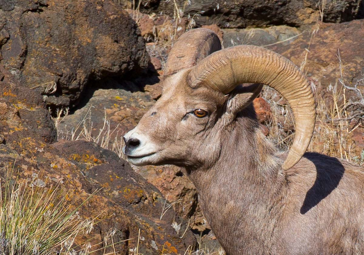Final  Big Horn head crop sigle 5243.jpg