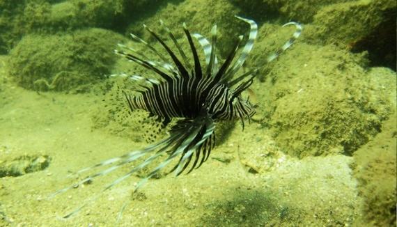 lionfish-copy-570x326.jpg