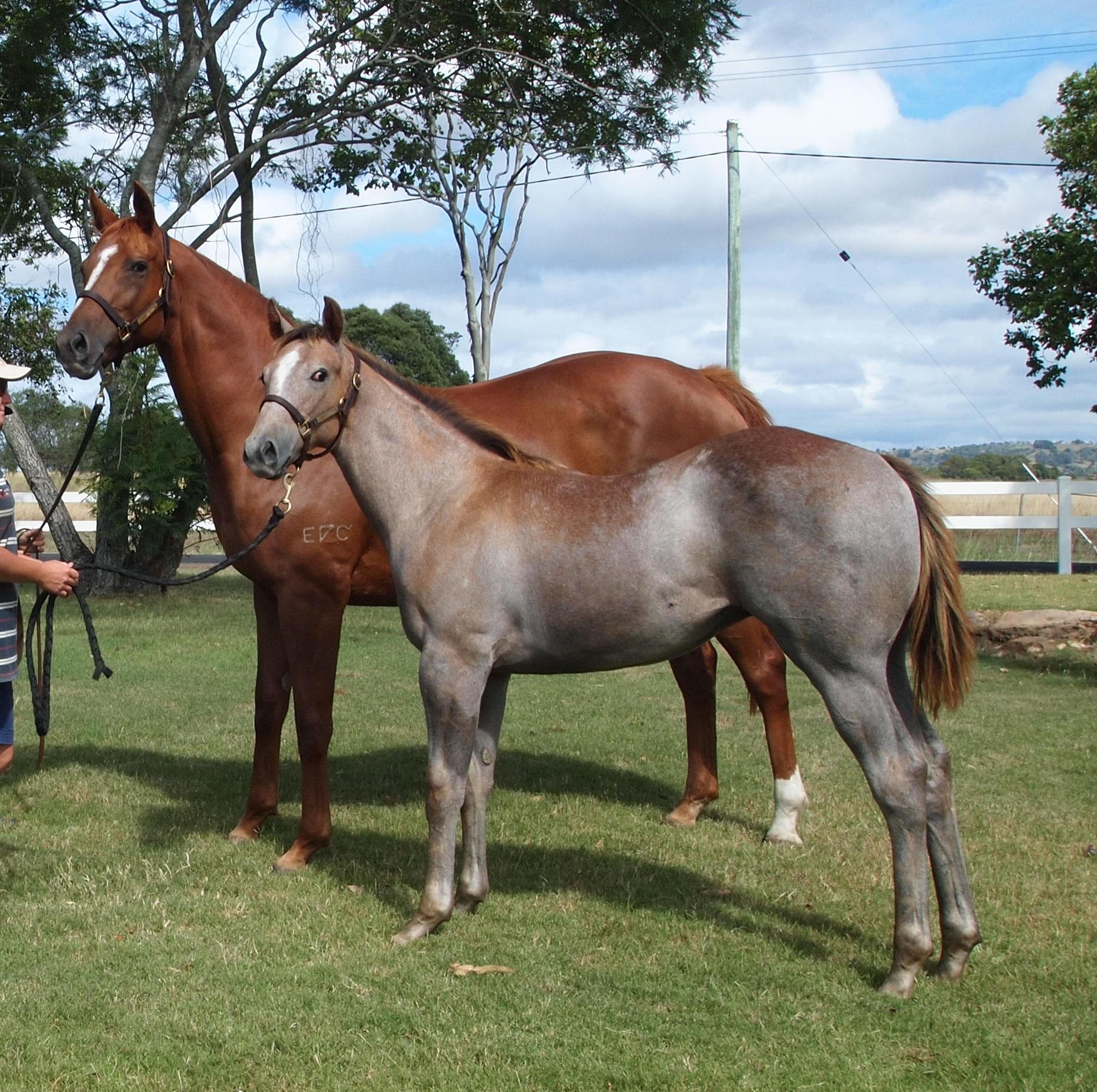 Top Echelon – SOCIAL PASS weanling colt.
