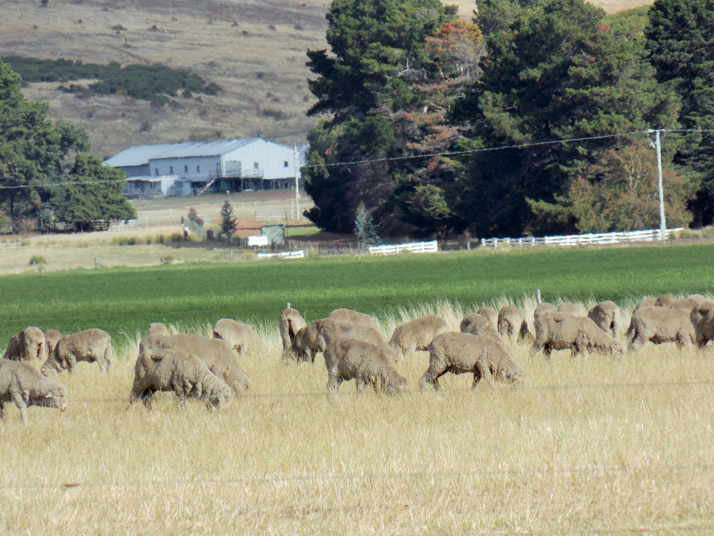 AgriPartner Consulting sheep grazing