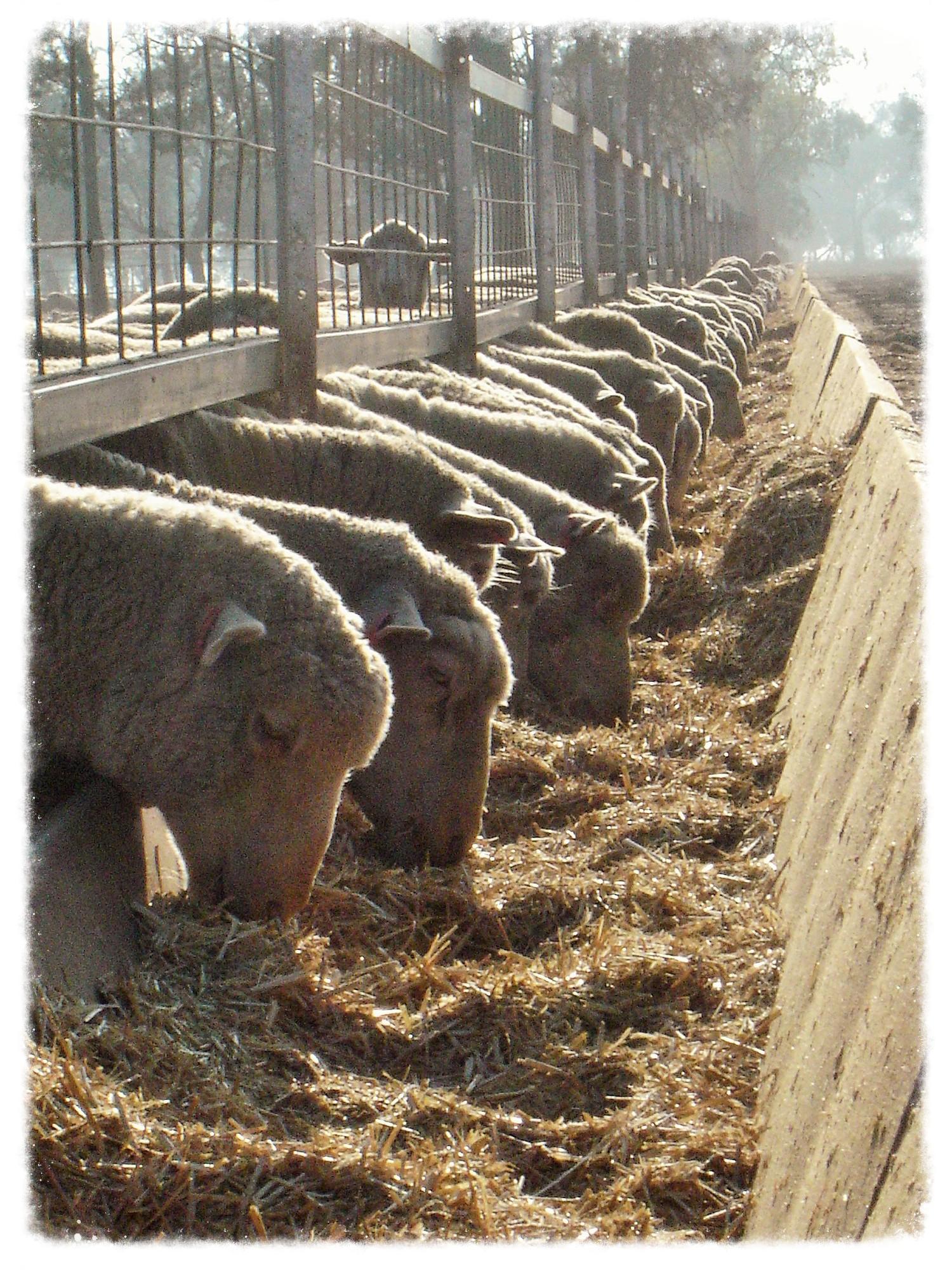 Lamb feedlot