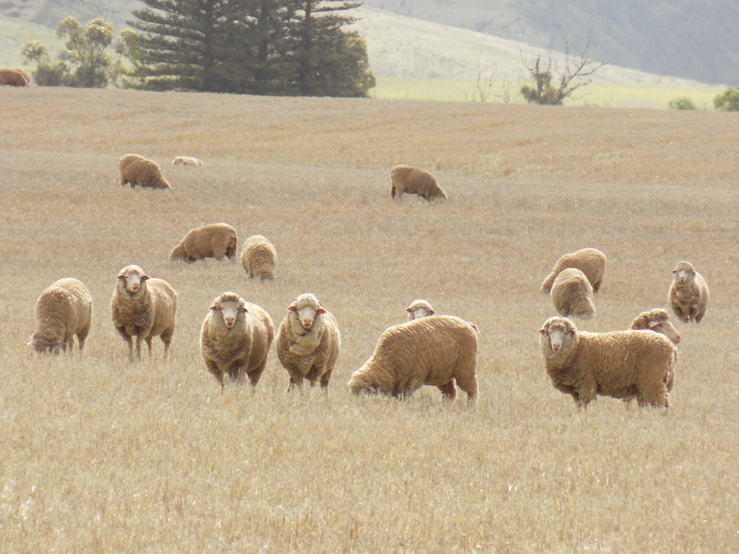 Sheep Agripartner